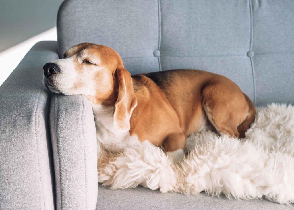 Beagle asleep on cosy sofa