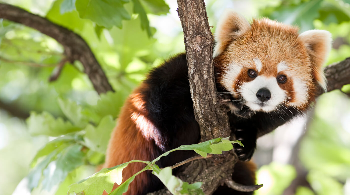 Photograph of a red panda sitting in a tree