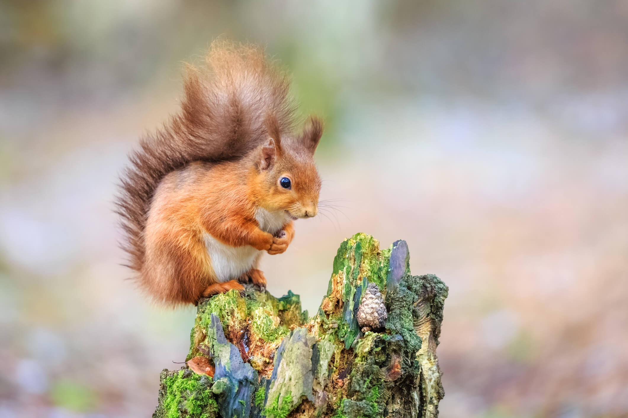 Cute red squirrel sitting in forest, England